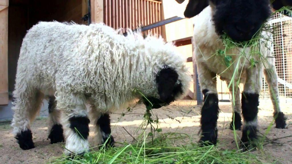 Сотрудники столичного зоопарка рассказали о рождении овечки