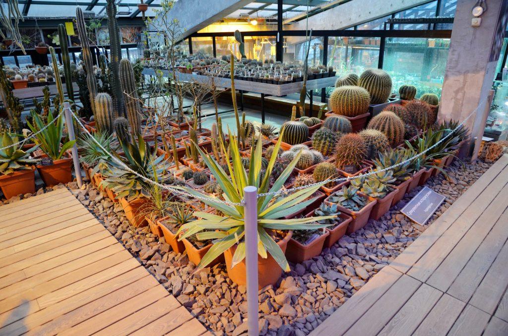 Коллекцию кактусов можно будет увидеть в «Аптекарском огороде». Фото: Анна Быкова