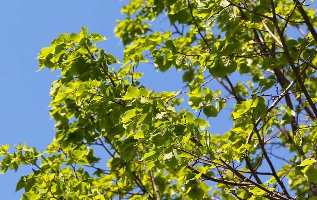 Формовочную обрезку деревьев осуществили на улице Татарская и по другим адресам в Замоскворечье