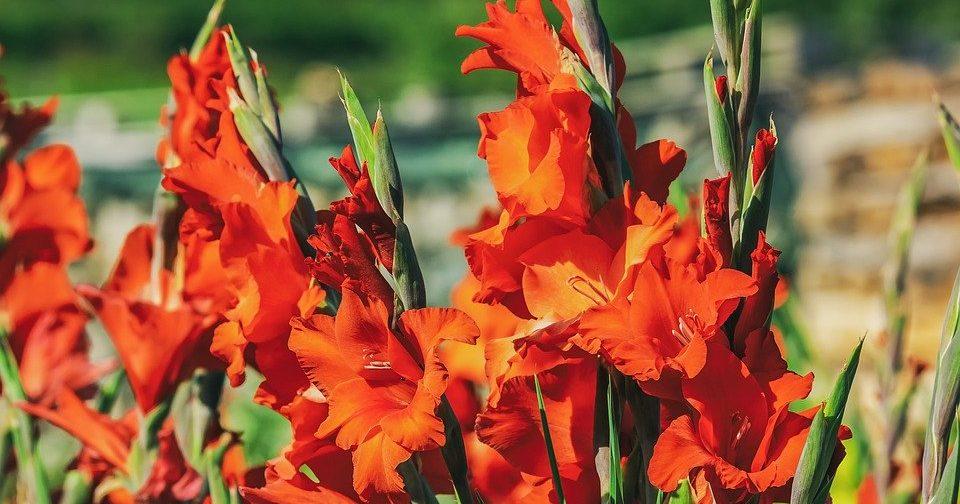 Гладиолусы из Подмосковья: в Биологическом музее представят новую цветочную выставку. Фото: pixabay