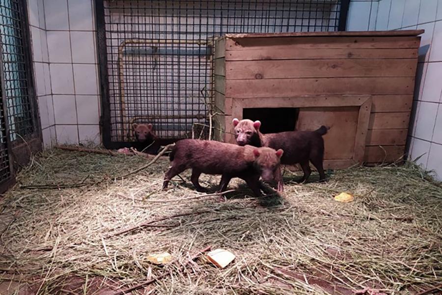 Щенки кустарниковой собаки родились в столичном зоопарке