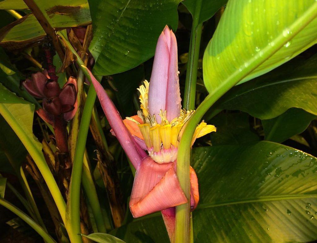 Декоративные и съедобные: розовые бананы поспели в Ботаническом саду Московского университета
