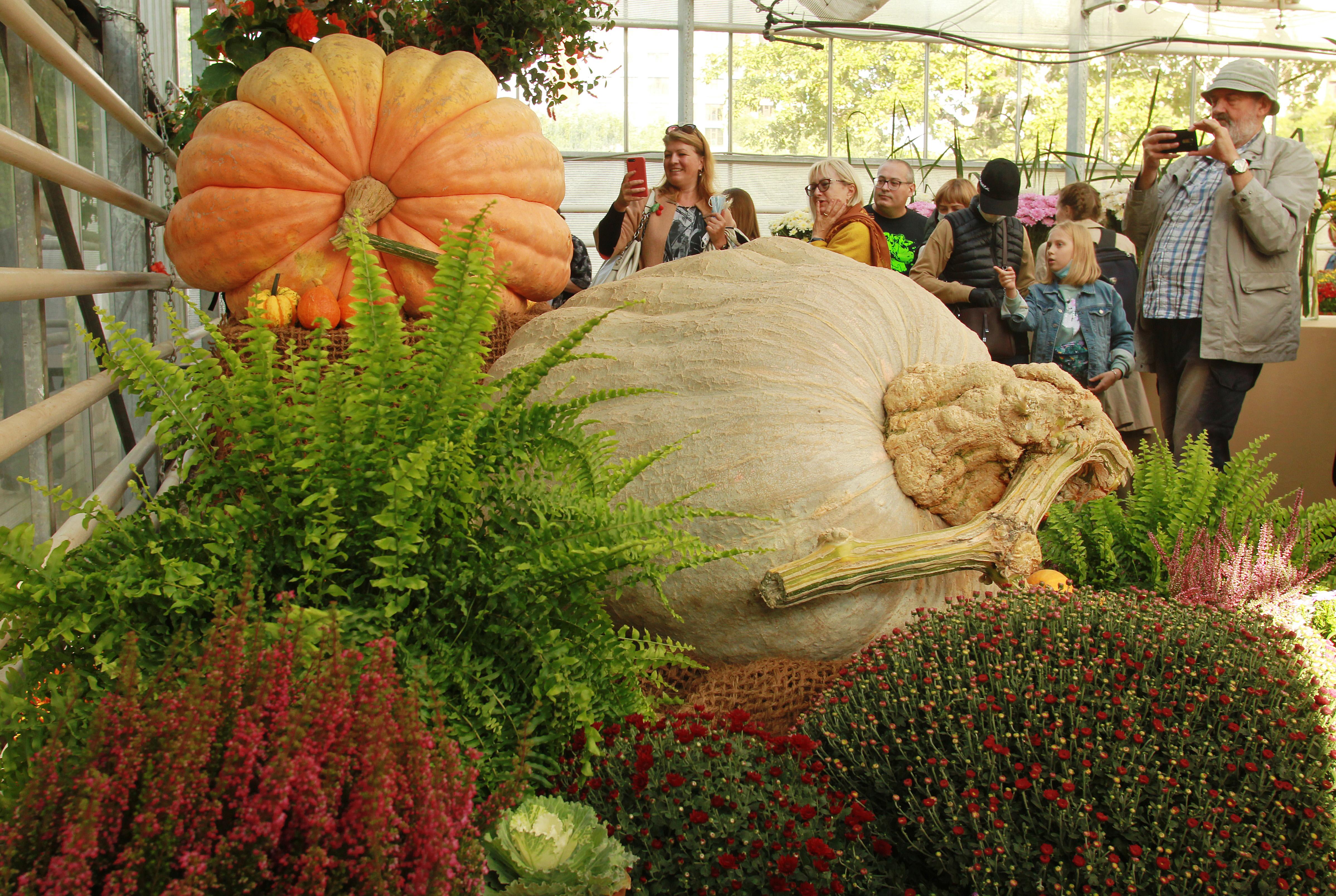 13 сентября 2020 года. На ежегодном фестивале «Краски осени» в Ботаническом саду «Аптекарский огород» (Мещанский район) представили разнообразные тыквы, самые большие из которых весят около 400 килограммов. Фото: Наталия Нечаева, «Вечерняя Москва»