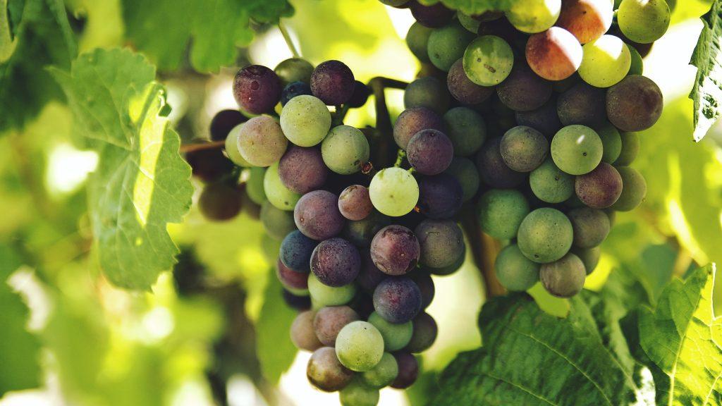 Сладким виноградом угостят посетителей «Аптекарского огорода» на выставке