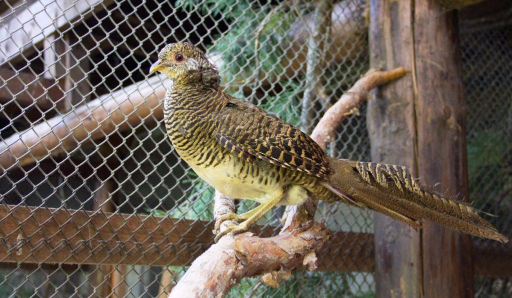 Аргентум и Аурум: птенцы фазана аргуса появились на свет в Московском зоопарке