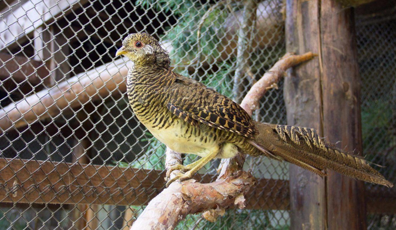 Аргентум и Аурум: птенцы фазана аргуса появились на свет в Московском зоопарке. Фото: сайт мэра Москвы