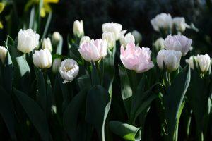 Основная доля композиций приходится на тюльпаны. Фото: Наталия Нечаева