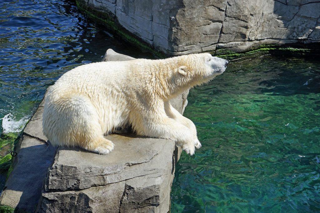 Белая медведица Мурма в Московском зоопарке не дожила до 30-летия