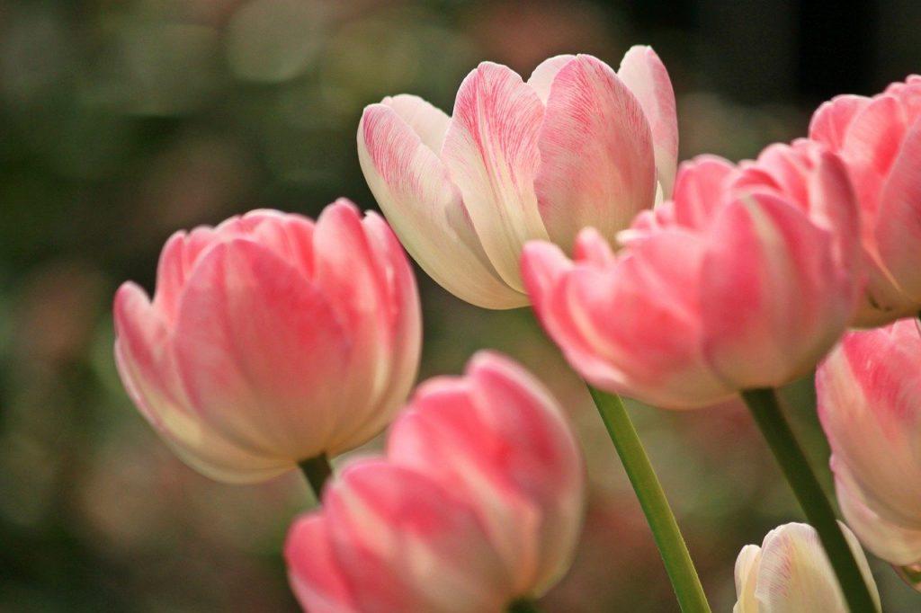 Тюльпаны высадят на 132 клумбах района Якиманка