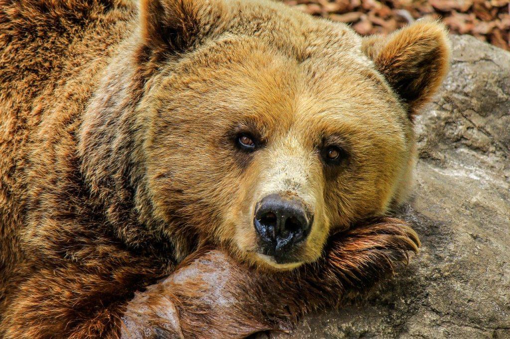 Сон до прихода тепла: медведи в Московском зоопарке погрузились в зимнюю спячку