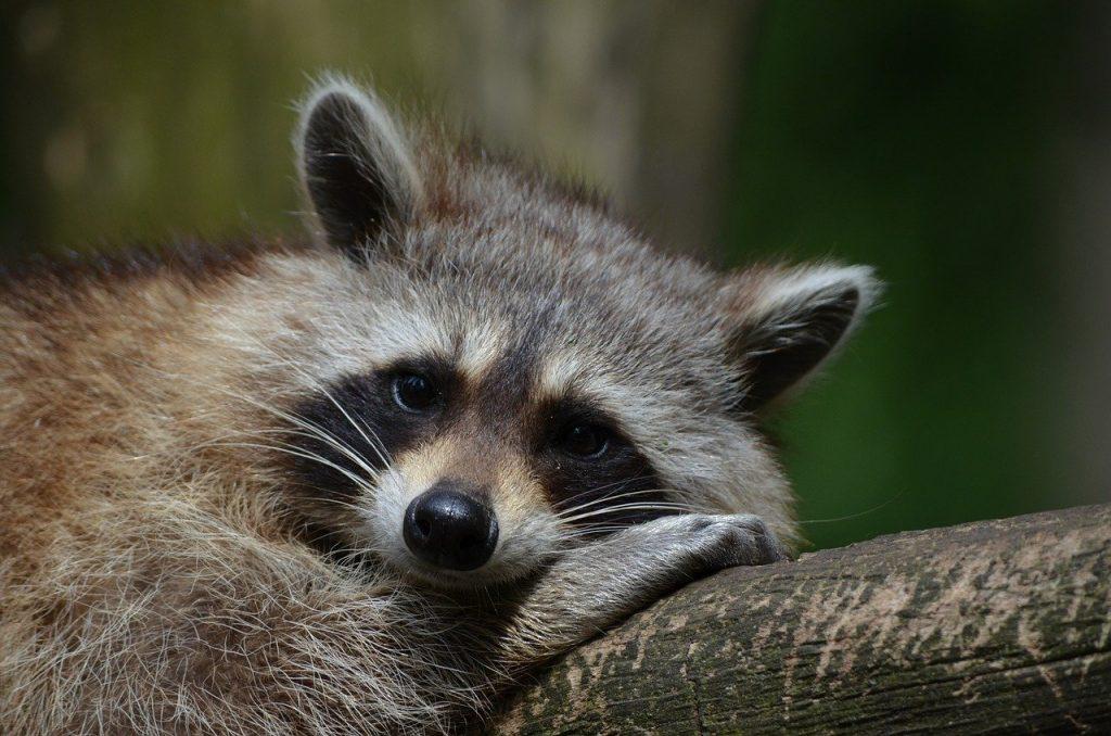 Еноты в Московском зоопарке набрали необходимый вес к зимней спячке