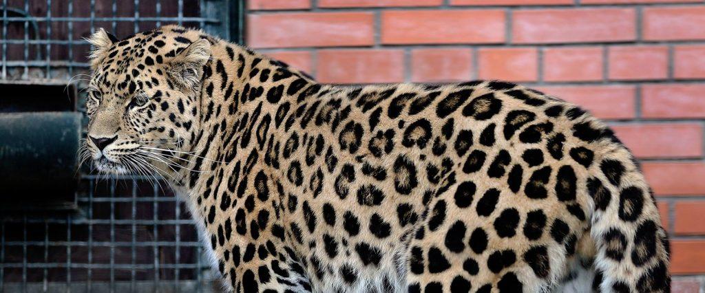 Леопардам для когтей и турам для еды: елки передали обитателям Московского зоопарка