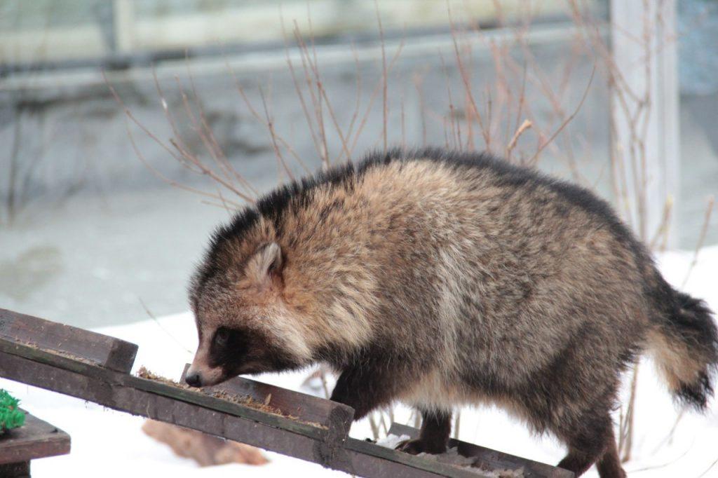 Енотовидная собака Буба в Московском зоопарке погрузилась в зимний сон
