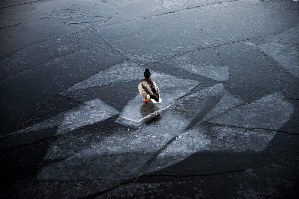 ФОТОФАКТ: На лед выходит представитель ластоногих — селезень