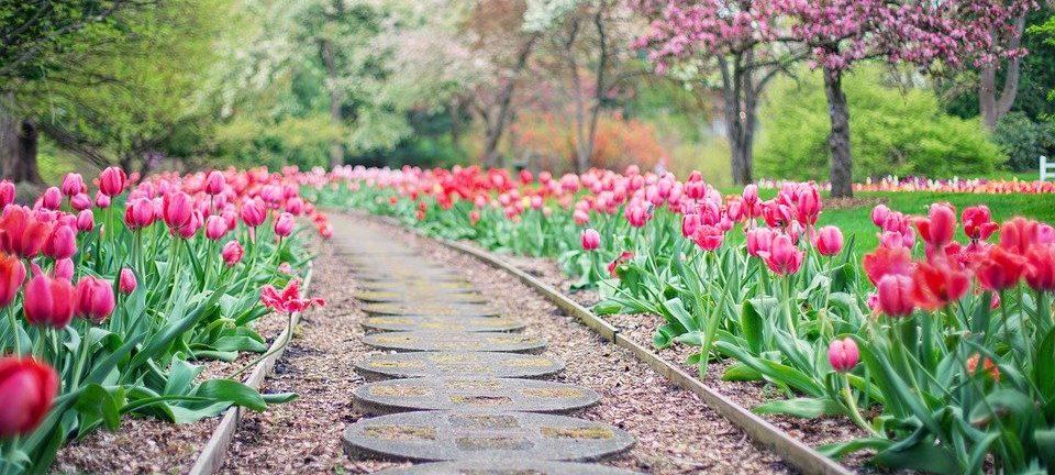 Тысячи тюльпанов расцветут в «Аптекарском огороде»