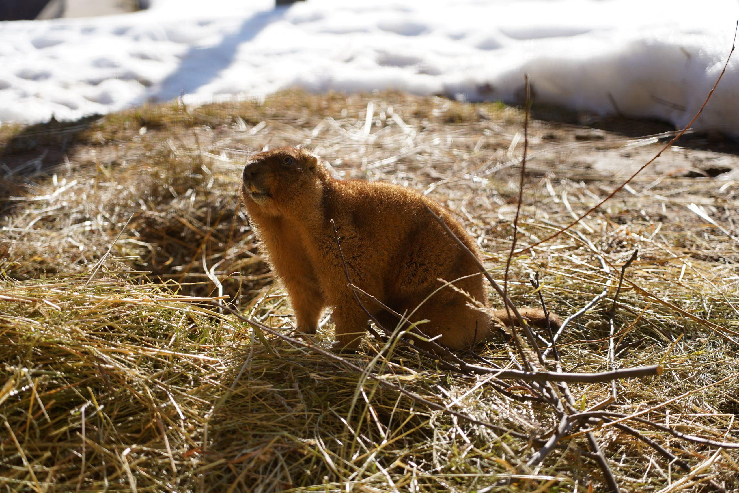 Сурки Московского зоопарка вышли из зимней спячки. Фото предоставили в пресс-службе Московского зоопарка