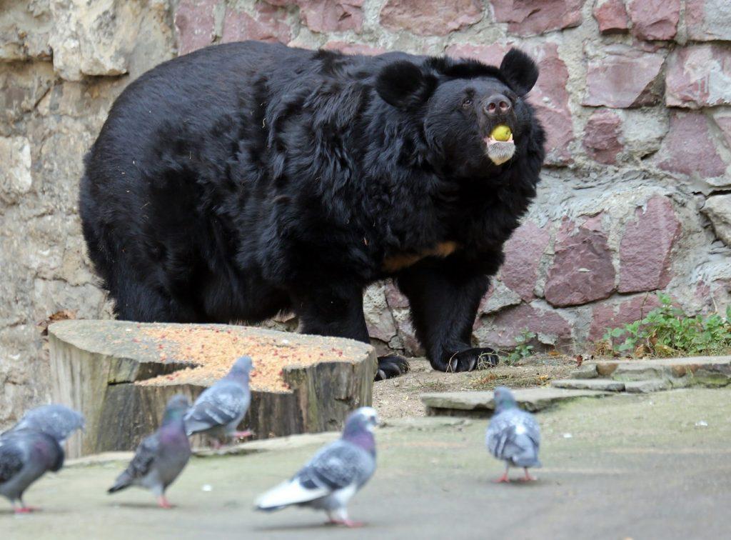 Подъем по расписанию: в Московском зоопарке медведи вышли из зимней спячки