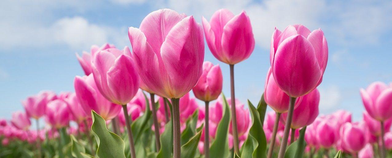 В Голландию лететь не обязательно: тысячи тюльпанов цветут в «Аптекарском огороде». Фото: pixabay.com