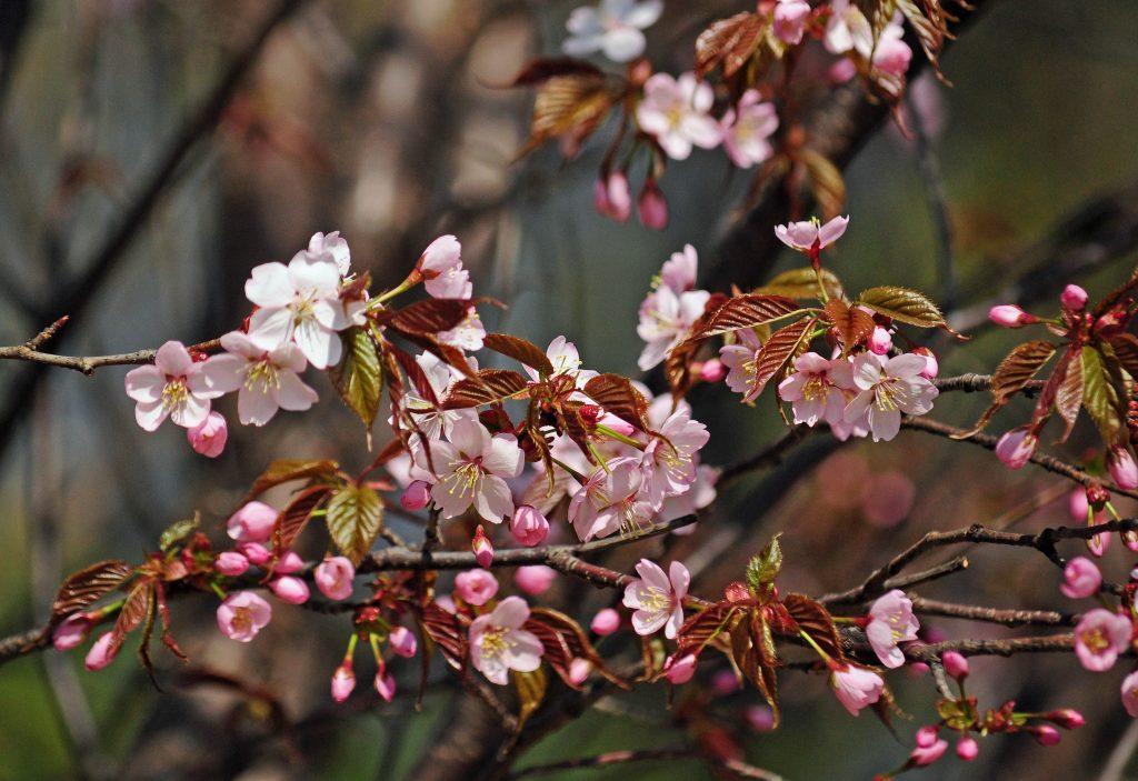 Подарок Японии: первая сакура зацвела в «Аптекарском огороде»