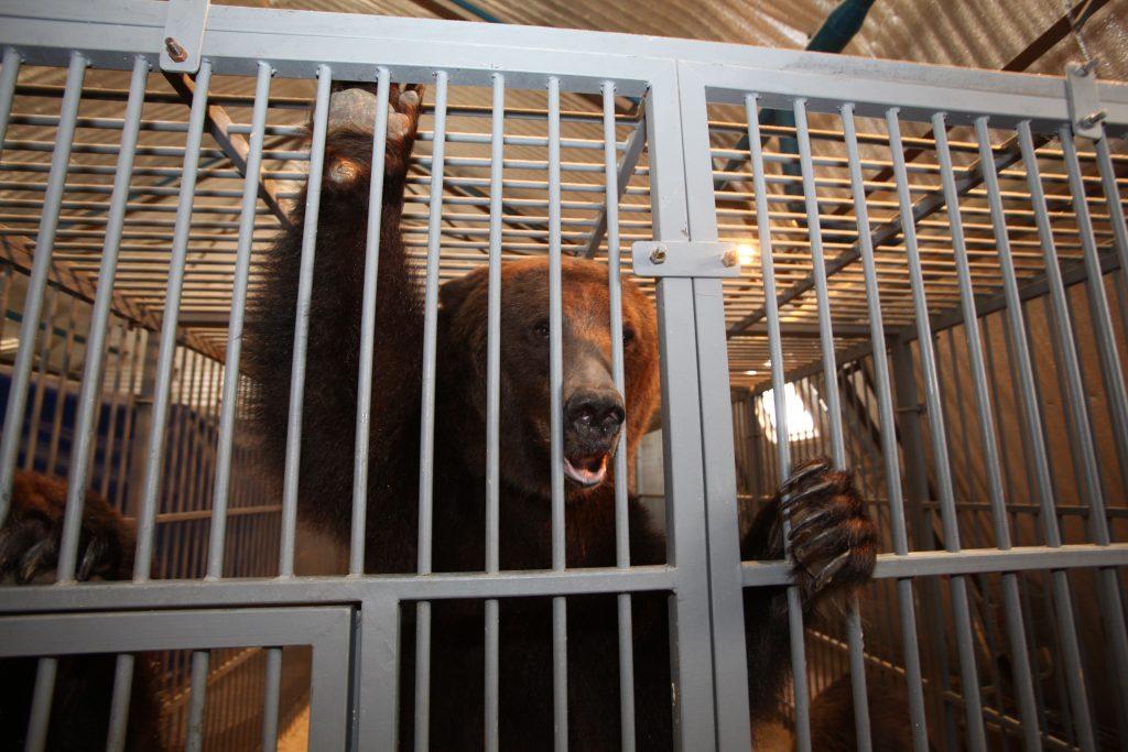 Московский зоопарк выпустил медведей в уличный вольер