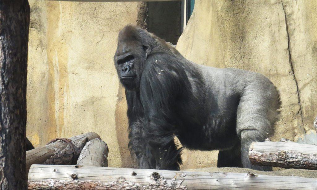 Визурий и остальные гориллы Московского зоопарка вышли в уличный вольер после зимы