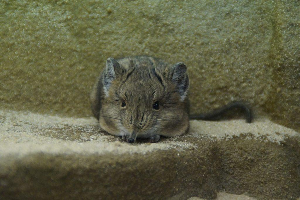 Теплый подъем: тушканчиков вывели из зимней спячки в Московском зоопарке