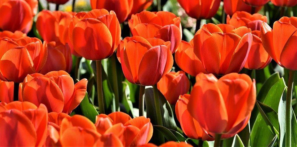 Первые тюльпаны расцвели под открытым небомв центре Москвы