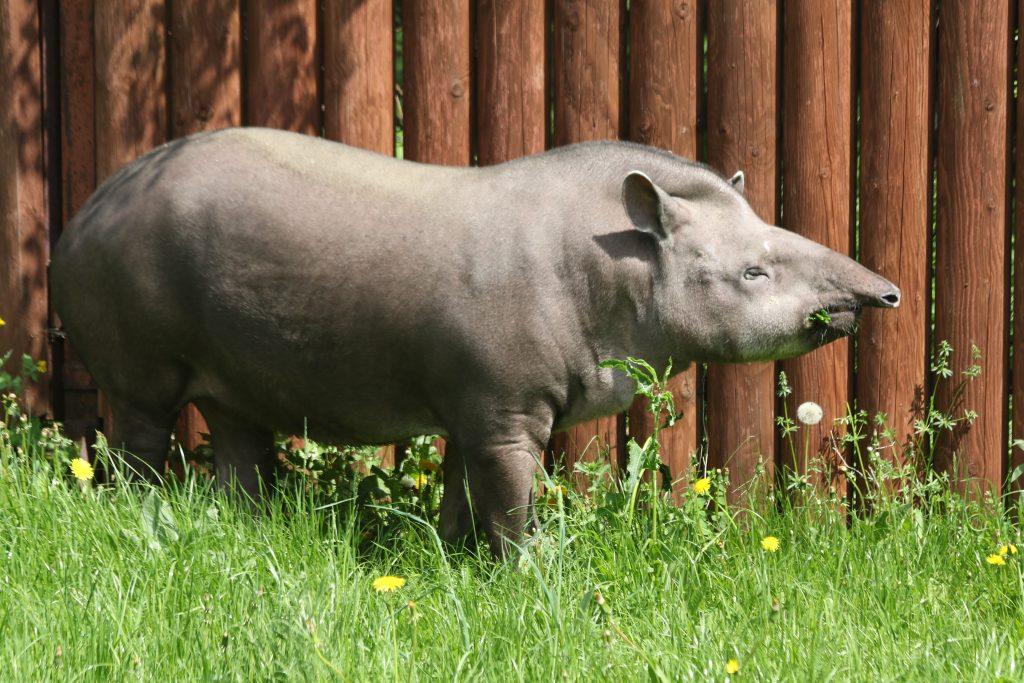 Летние прогулки Сью: тапир Московского зоопарка перебралась в уличный вольер