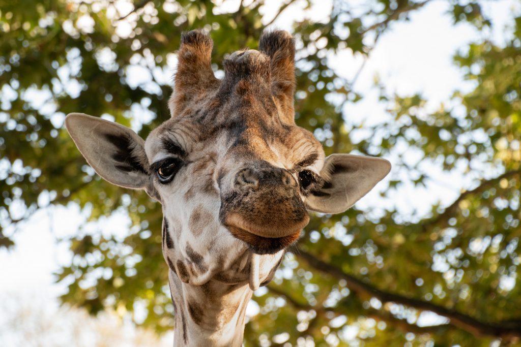 Прогулки на свежем воздухе: жирафа в Московском зоопарке перевели в открытый вольер