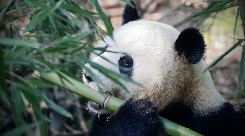 Бамбуковая диета: сотрудники Московского зоопарка рассказали о рационе панд