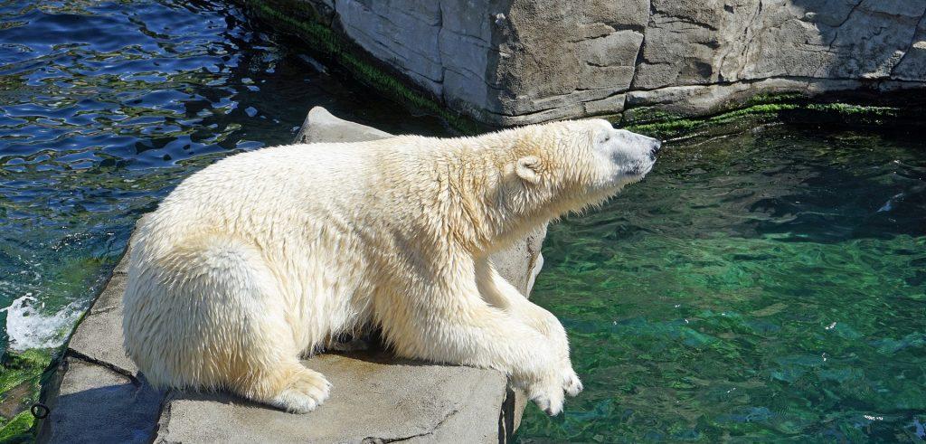 Рада или Хатанга: голосование по выбору имени для белого медведя запустили в Московском зоопарке