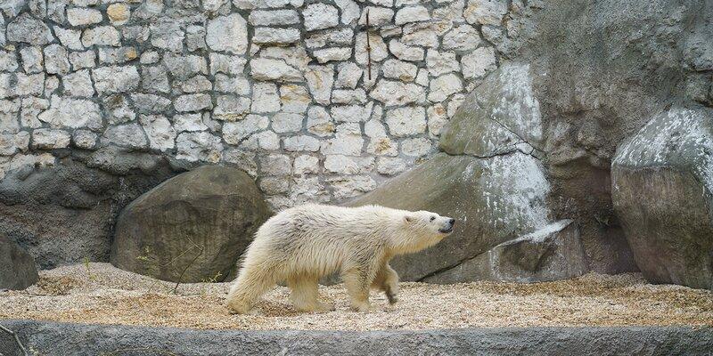 Хатанга: в Московском зоопарке выбрали имя для белой медведицы