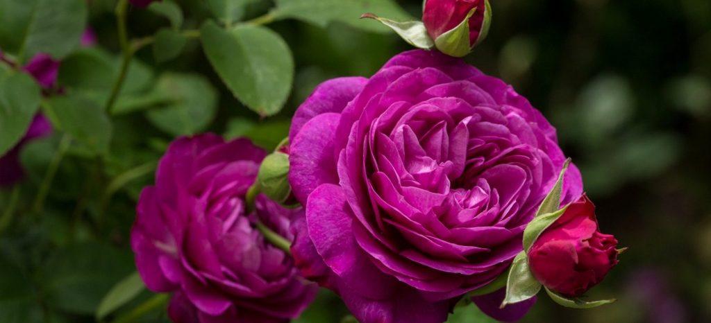 Декоративные кустарники и садовые многолетники: розы представят на выставке в «Аптекарском огороде»