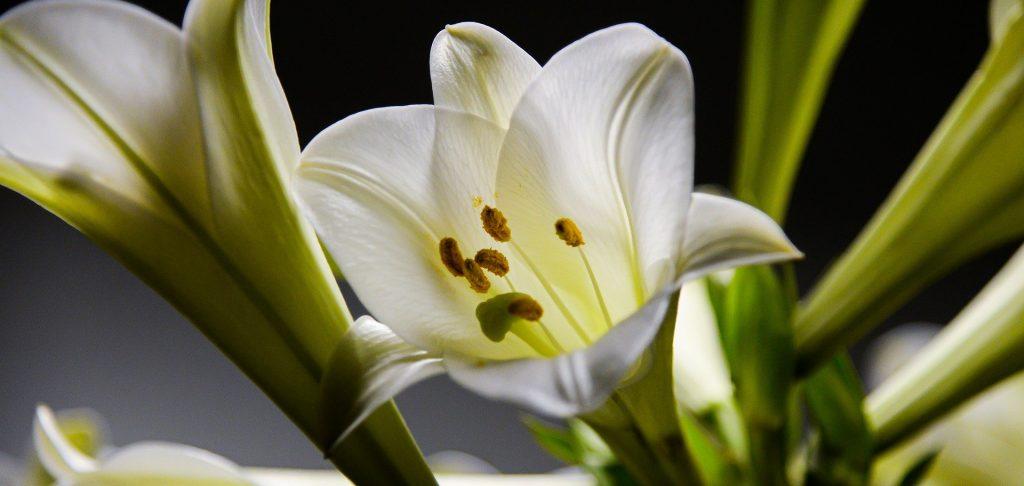 Королевские цветы: выставку лилий открыли в Биомузее