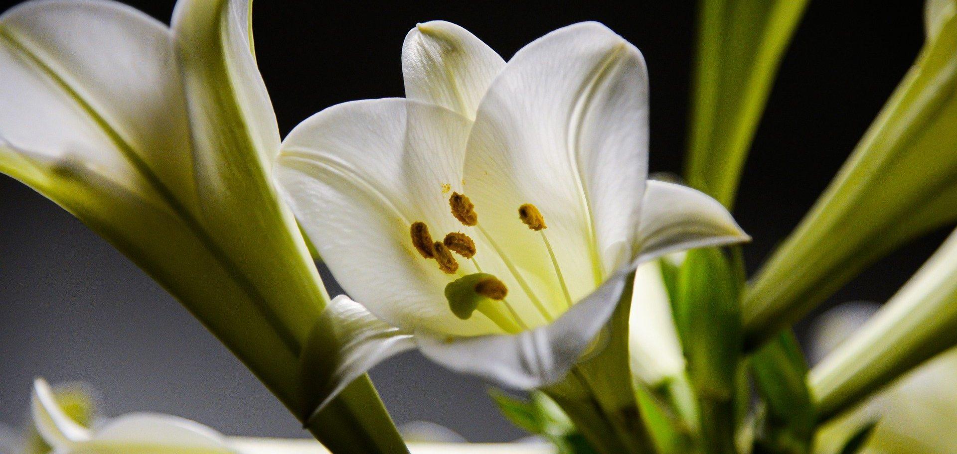 Королевские цветы: выставку лилий открыли в Биомузее. Фото: pixabay.com
