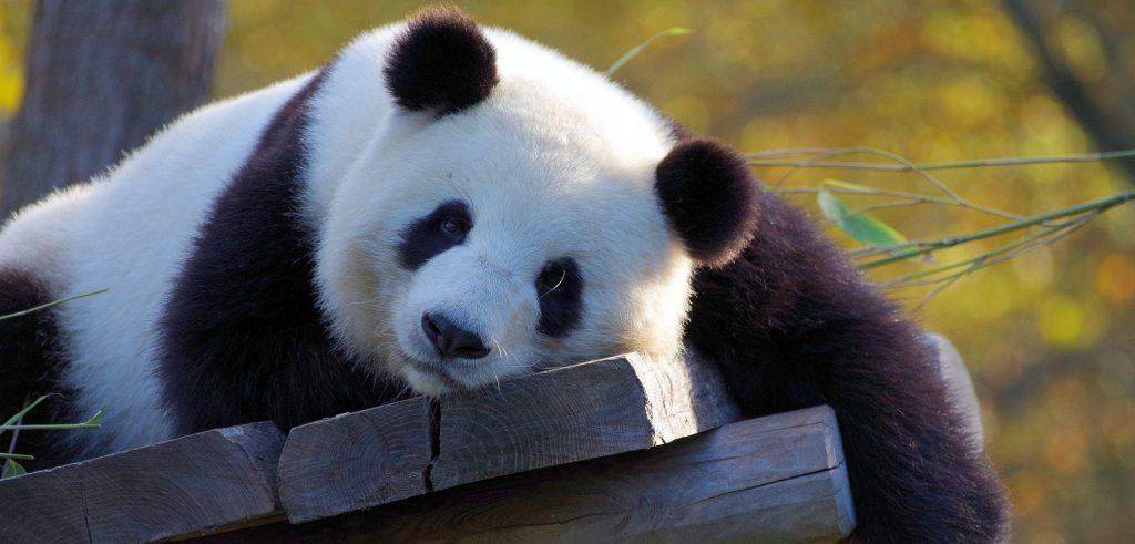 Подарки для каждого: панд Московского зоопарка поздравили с Днем защиты детей