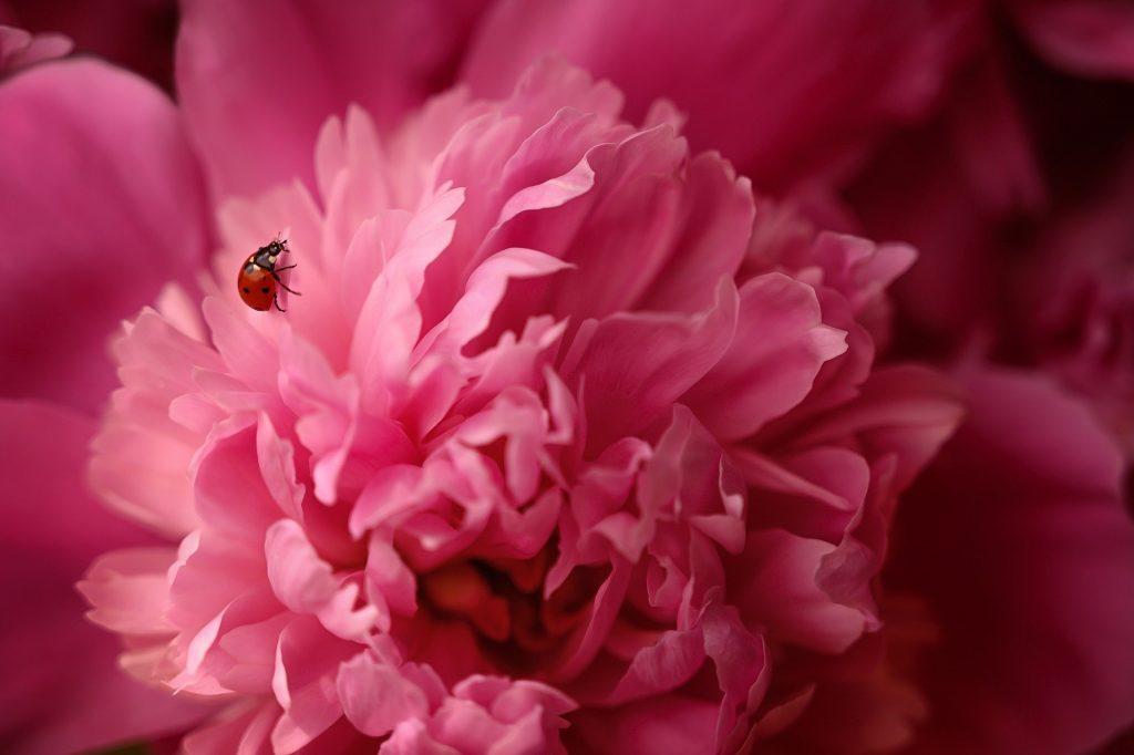 Желтые, белые, красные: пионы среднего срока цветения представили в Биомузее