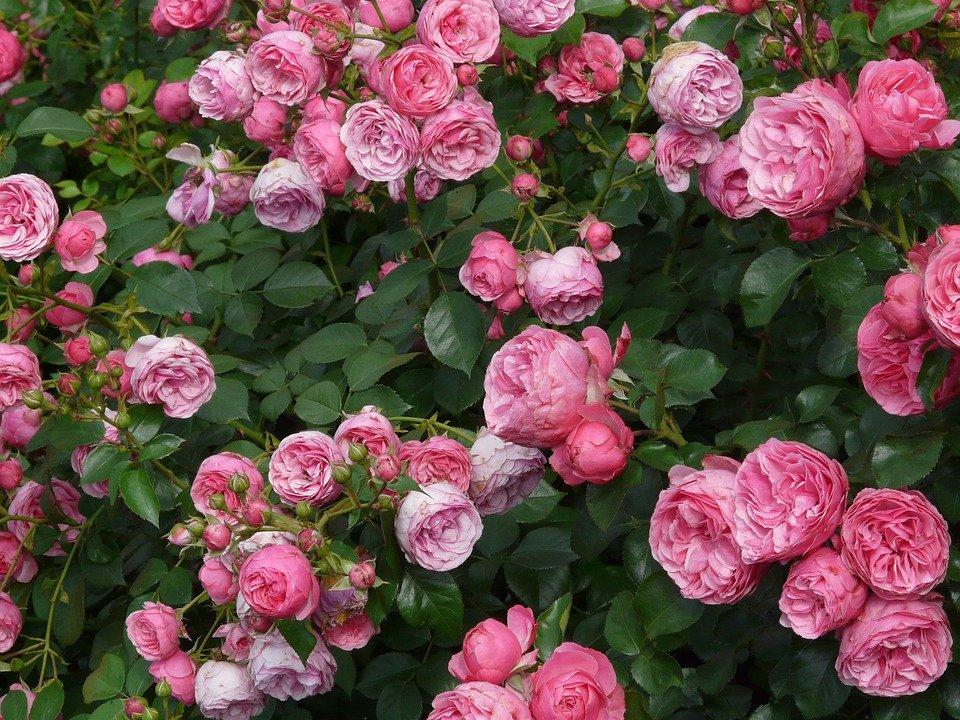 Лучшие цветоводы Москвы представили розы и декоративные кустарники в «Аптекарском огороде»