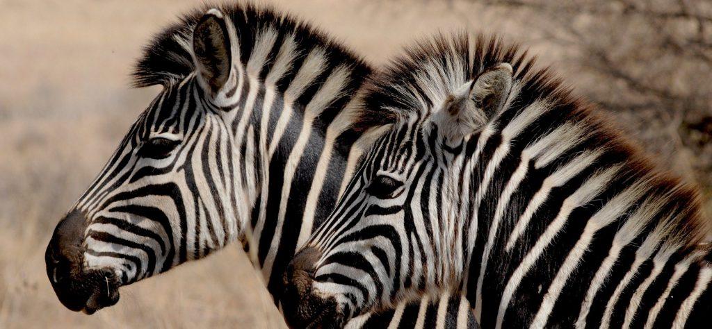 Новые жители: зебр Греви привезли в Московский зоопарк