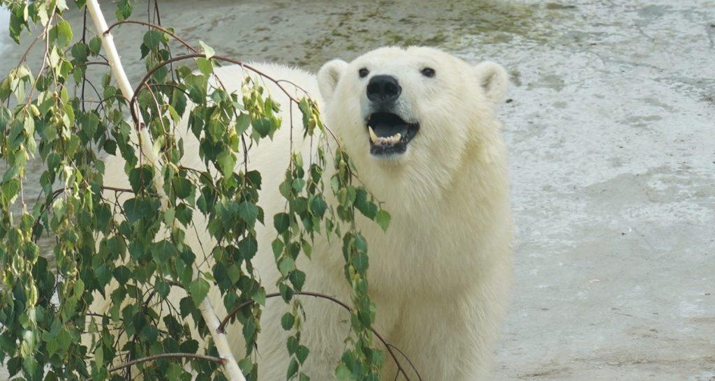 Имя для белой медведицы Московского зоопарка выберут на «Активном гражданине»
