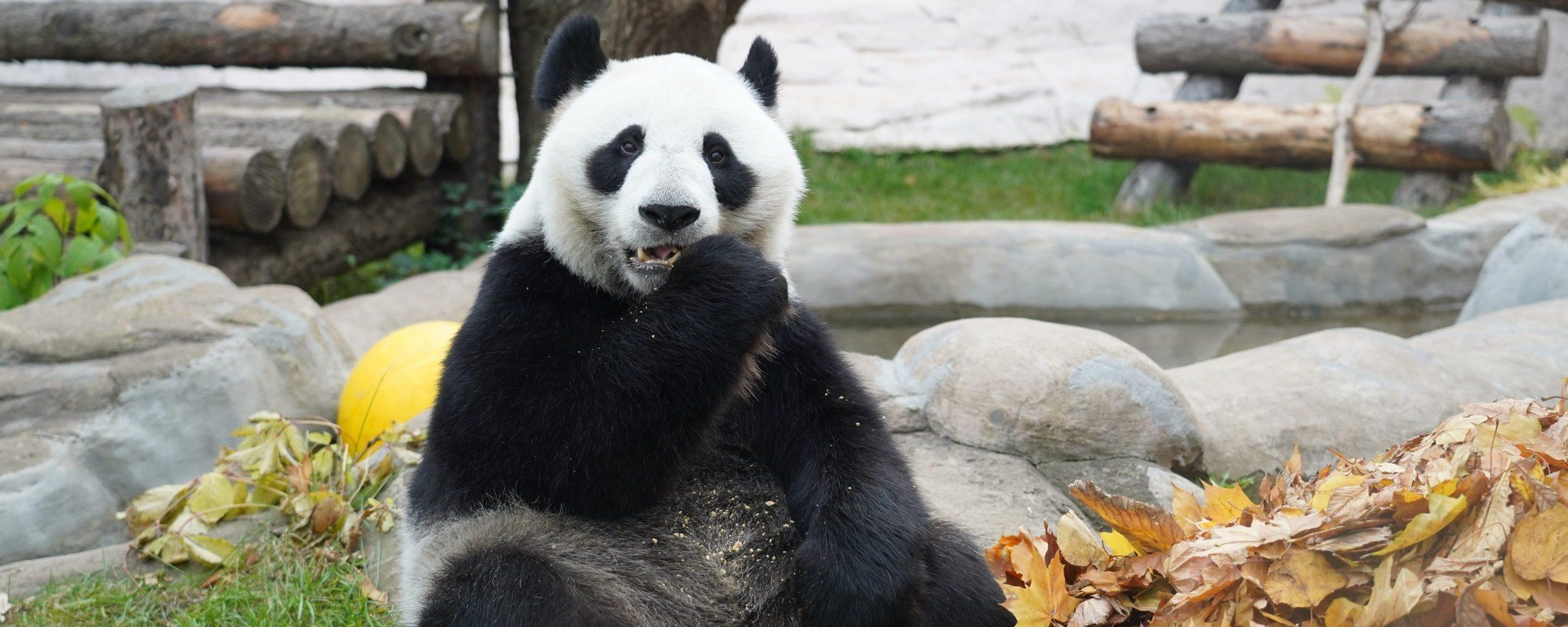 Пандам в Московском зоопарке устроили осеннюю фотоссесию. Фото предоставили в пресс-службе Московского зоопарка