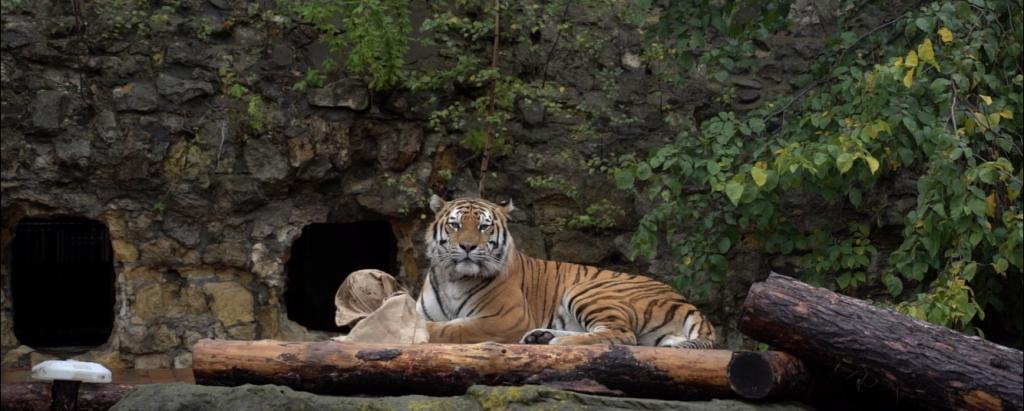 Приятно познакомиться, Степан: в Московском зоопарке поселился тигр